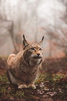 Фото бесплатно рысь, хищник, большая кошка