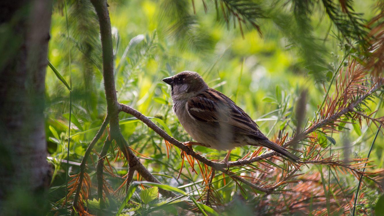 Screensaver bird, a Sparrow on the desktop for free