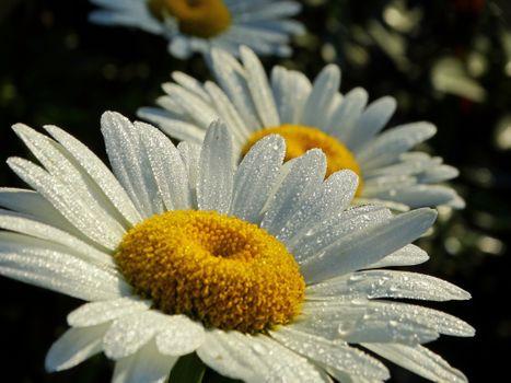 Фото бесплатно ромашка, цветок, цветы