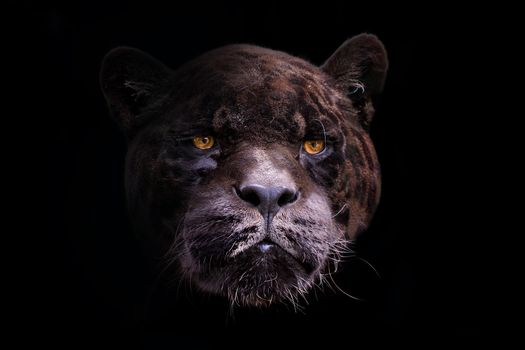 Photo free black panther, predator, black background