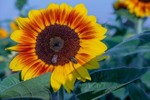 Фото бесплатно цветок, пчелы, насекомые