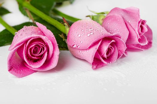 Photo free gray background, roses drops, flowers drops