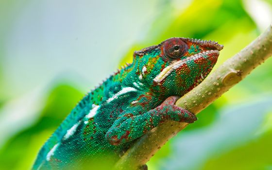 Photo free chameleon, branch, reptile