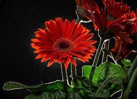 Бесплатные фото Гербера,цветок,чёрный фон,флора