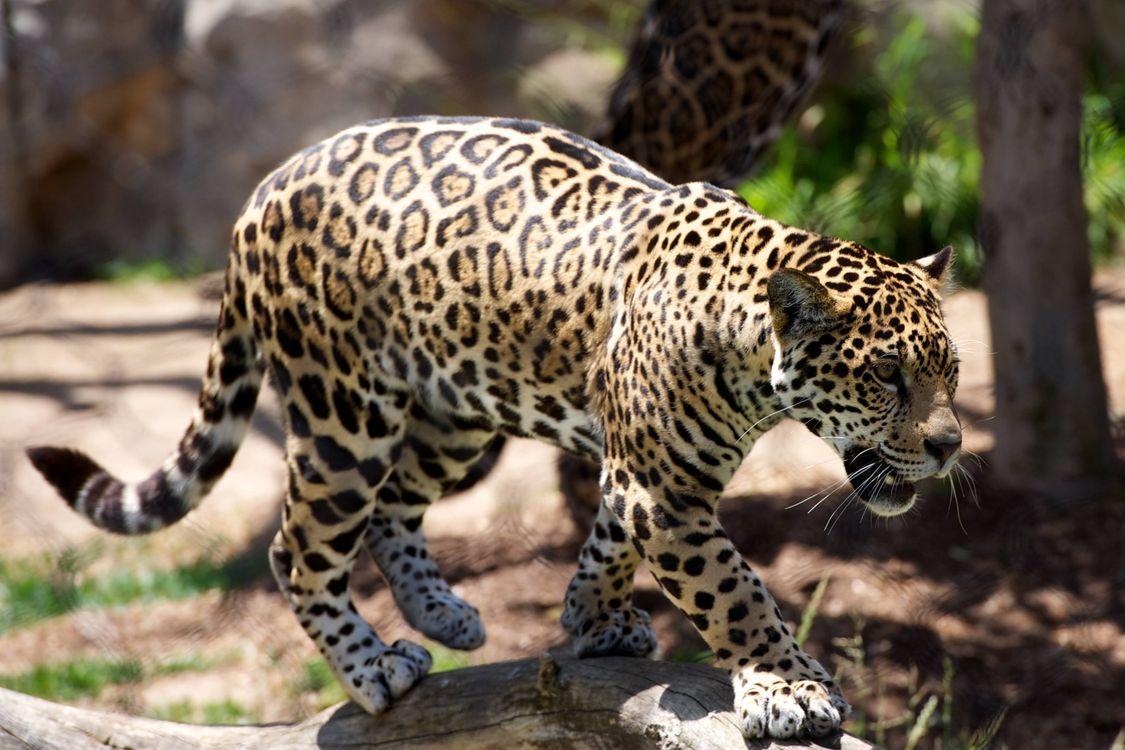 Обои леопард, ходьба, хищник картинки на телефон