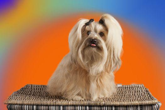 Фото бесплатно щенок, собака, лхаса апсо