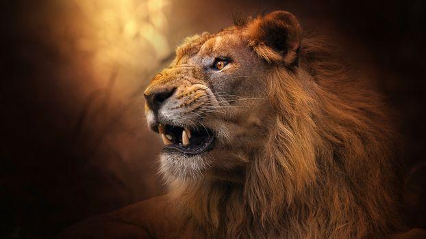 Заставки хищник, лев, клыков