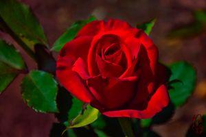 Картинка розы