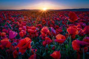 Заставки закат, поле, маки, цветы, флора