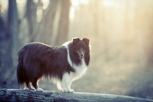 Фото бесплатно собака, пушистые, туман