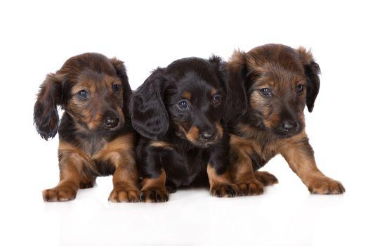 Photo free puppies, dachshunds, sweet