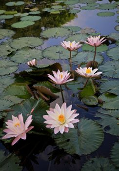 Free water lilies, water lily best photo