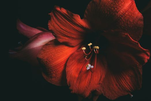 Цветок амариллис · бесплатное фото