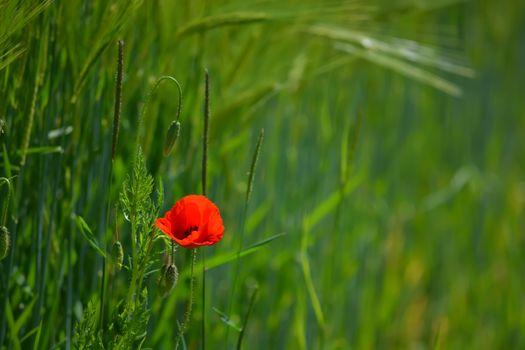 Photo free flower, red, grass