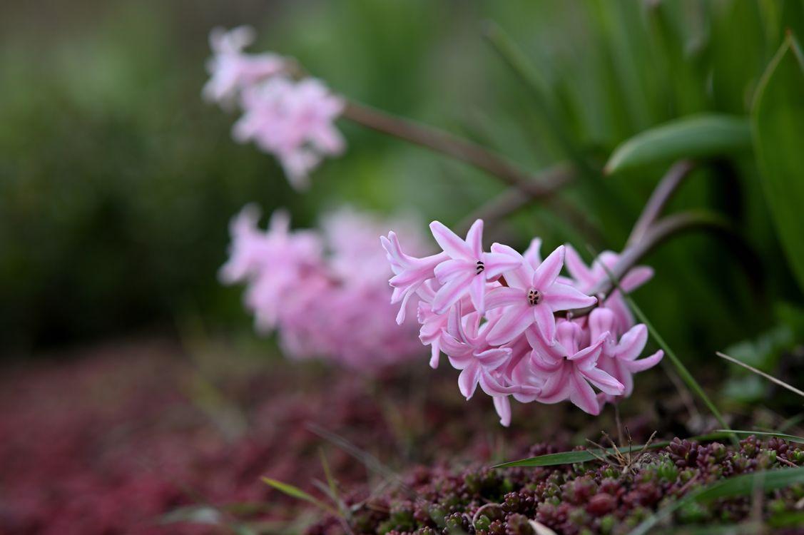 Фото цветы розовый цвет гиацинты - бесплатные картинки на Fonwall
