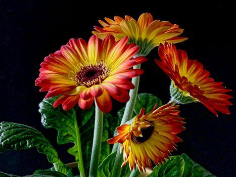 Фото бесплатно гербера, герберы, цветы