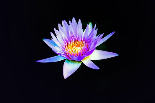 Photo free waterlily, proteales, lily