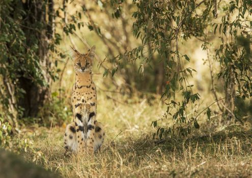 Фото бесплатно сервал, большие кошки, хищник