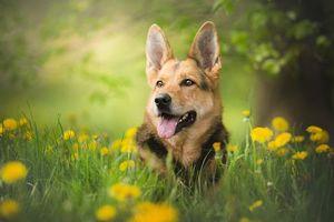 Фото бесплатно собака, овчарка, взгляд
