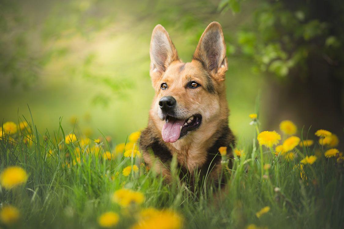 Фото бесплатно собака, овчарка, взгляд - на рабочий стол