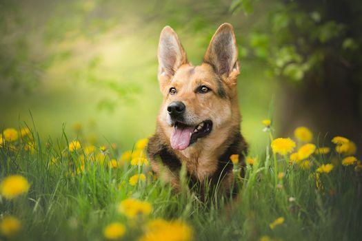 Photo free dog, shepherd, look