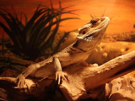 Photo free rock, lizard, animal