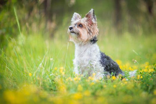 Фото бесплатно Йоркширский терьер, собака, величественные