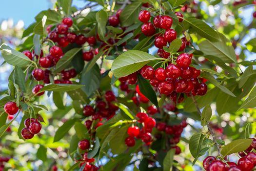Гроздья вишни