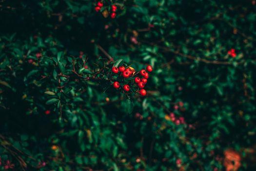 Ветви рябины · бесплатное фото