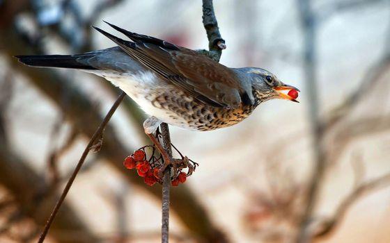 Фото бесплатно рябинник, ветка, крылья