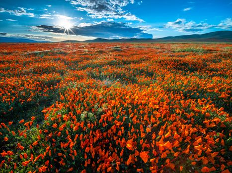 Фото бесплатно природа, цветок, Калифорния