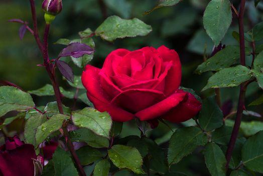 Фото бесплатно листья, бутоны, флора