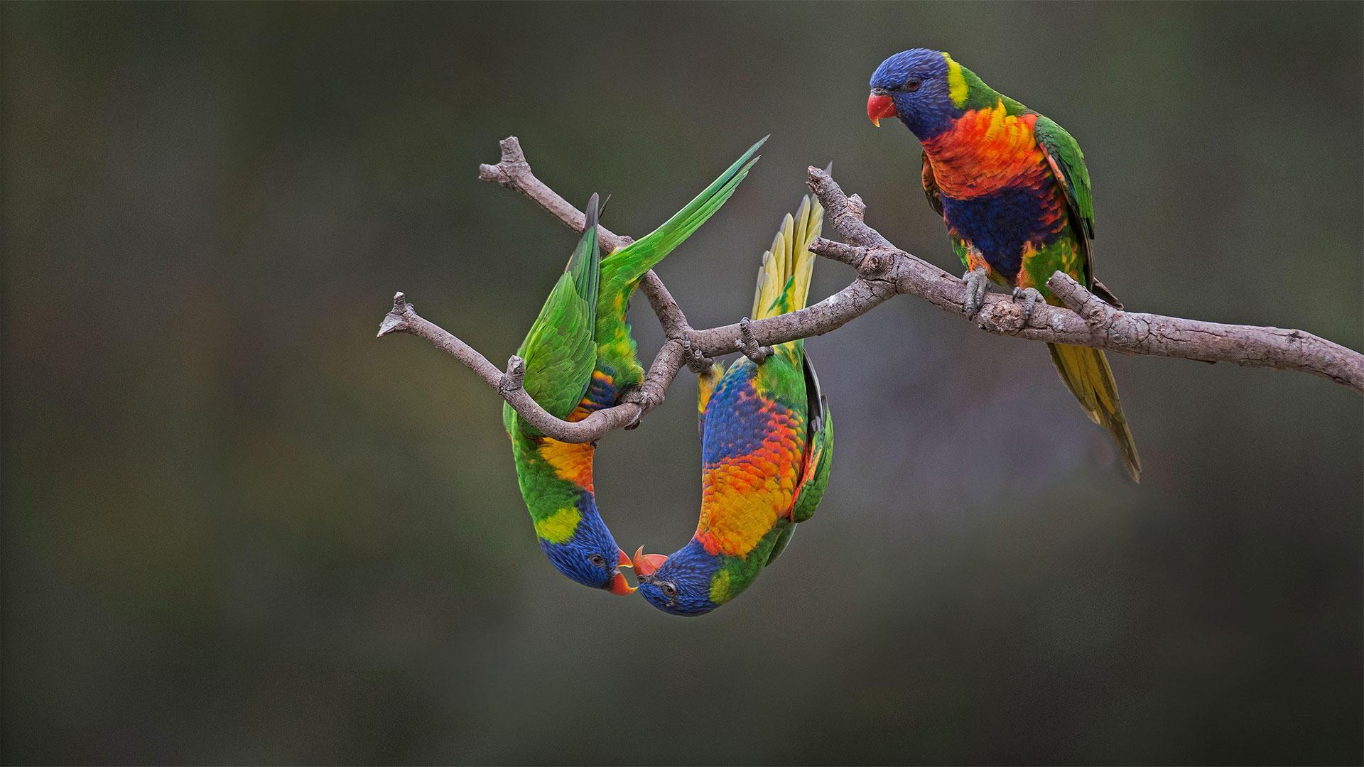 Обои Лорикет, попугай, птица