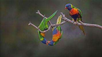 Бесплатные фото Лорикет,попугай,птица