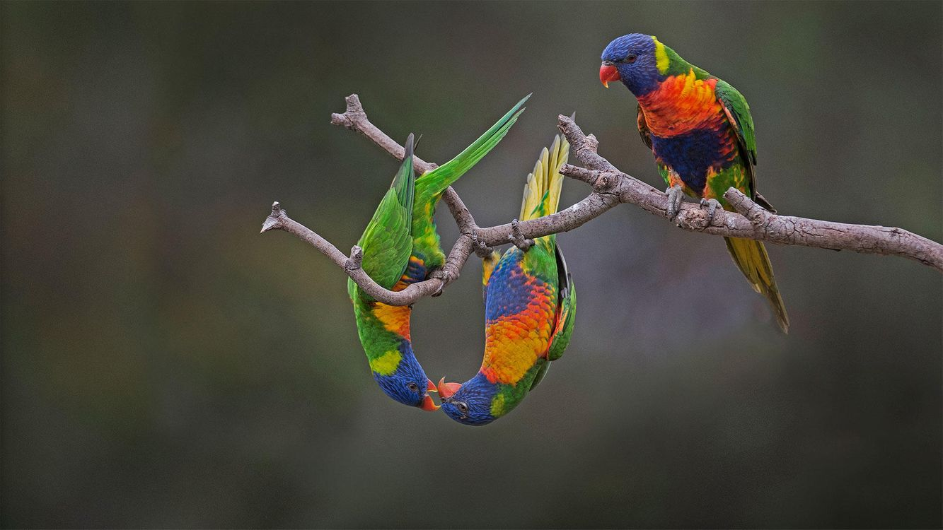 Фото бесплатно Лорикет, попугай, птица, птицы