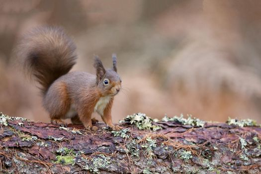 Photos online free animal, a genus of rodents of the squirrel family
