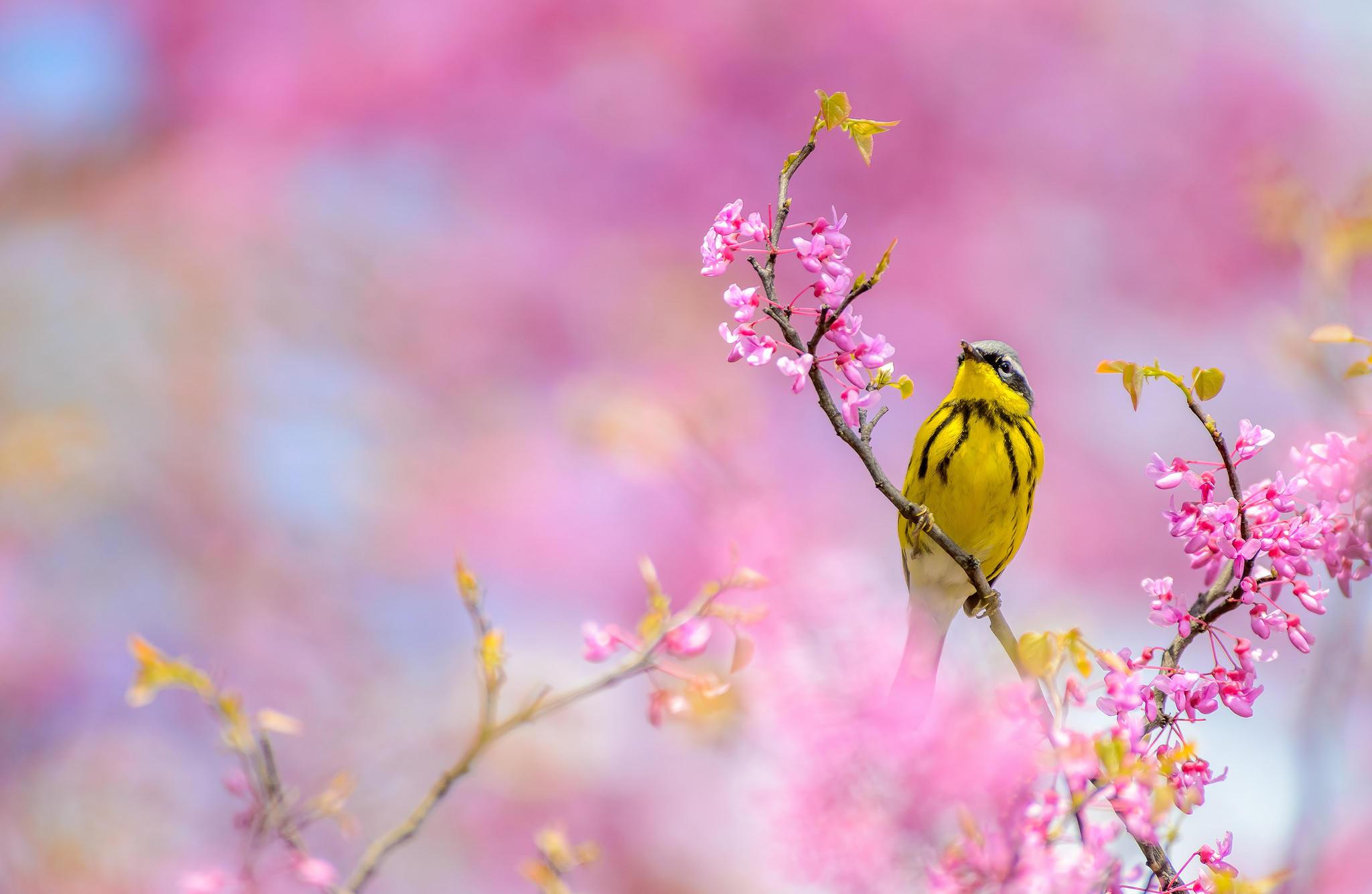 Обои ветка, цветы, птица, Камышевка магнолии
