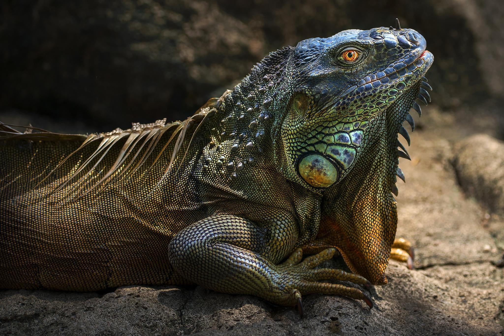 Обои игуана, iguana, крупная растительноядная ящерица семейства игуановых