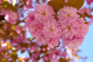 Сакура в ботаническом саду · бесплатное фото
