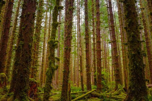 Фото бесплатно старый лес, умеренный хвойный лес, роща