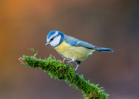 Photo free tit, bird, branch