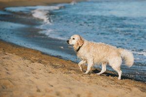 Фото бесплатно животные, золотой ретривер, собаки