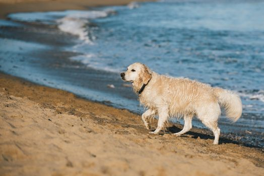 Photo free animals, golden retriever, dogs