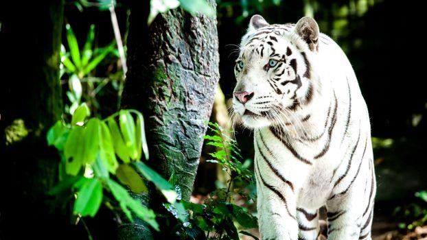 Заставки белый тигр, большие кошки, хищник