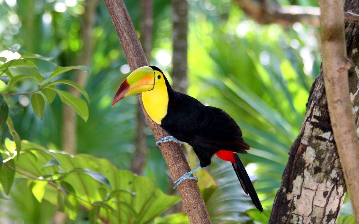 Фото бесплатно птицы, лес, тукан - на рабочий стол