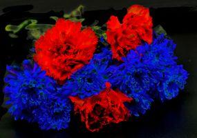 Фото бесплатно хризантемы, гвоздика, цветок