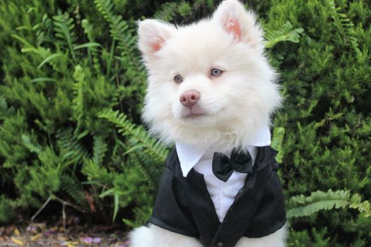 Фото бесплатно щенок, смокинг, собака