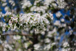 Цветущая ветка яблони · бесплатное фото