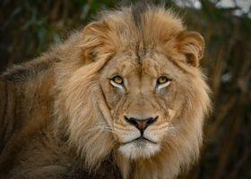 Photo free lion, predator, view