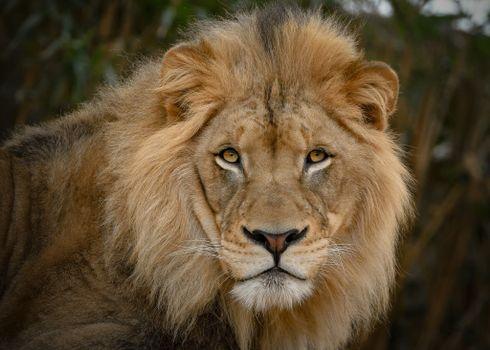 лев,хищник,взгляд